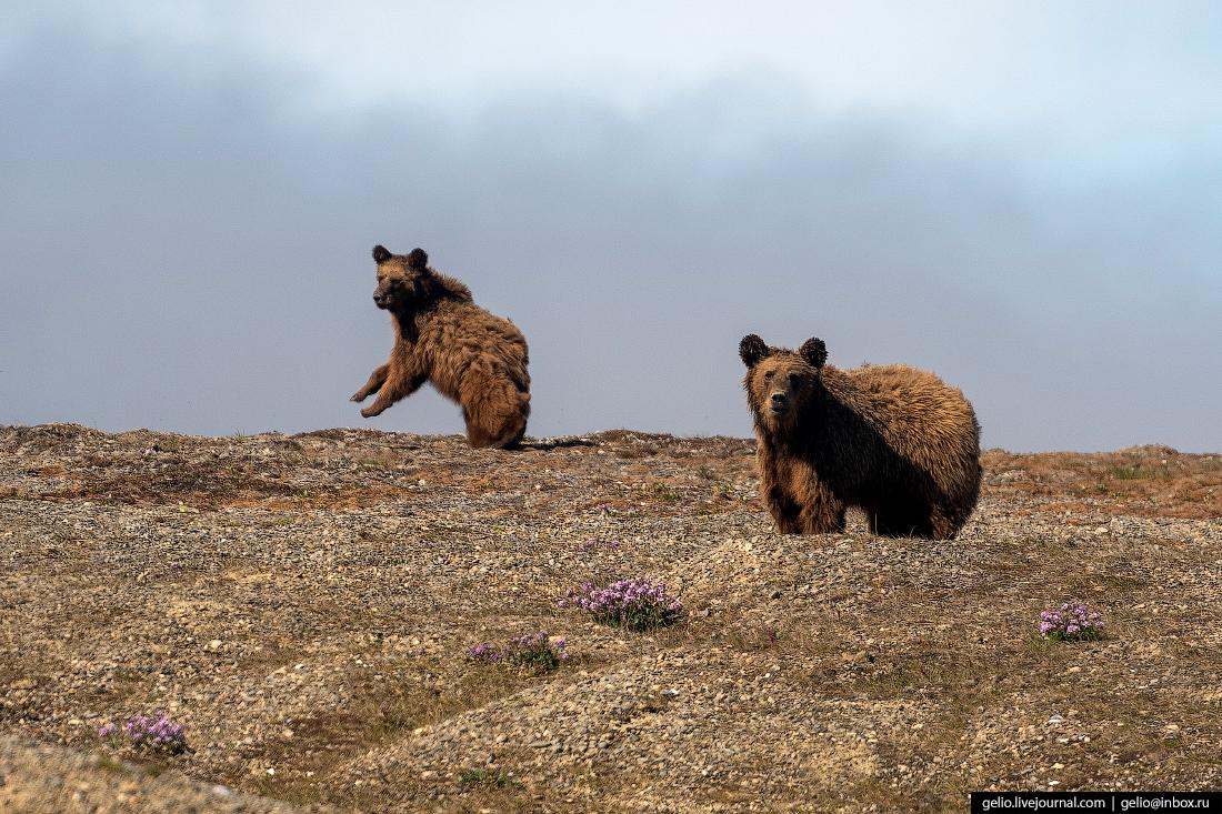 Мыс Дежнёва медведи