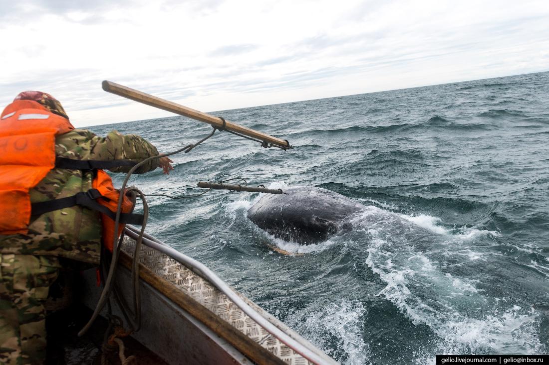 Китовая охота на Чукотке