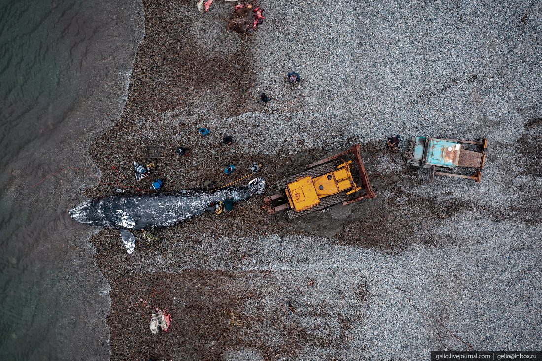 уэлен, Вытаскивают тушу кита на берег, чукотка, мыс дежнева, мертвый кит