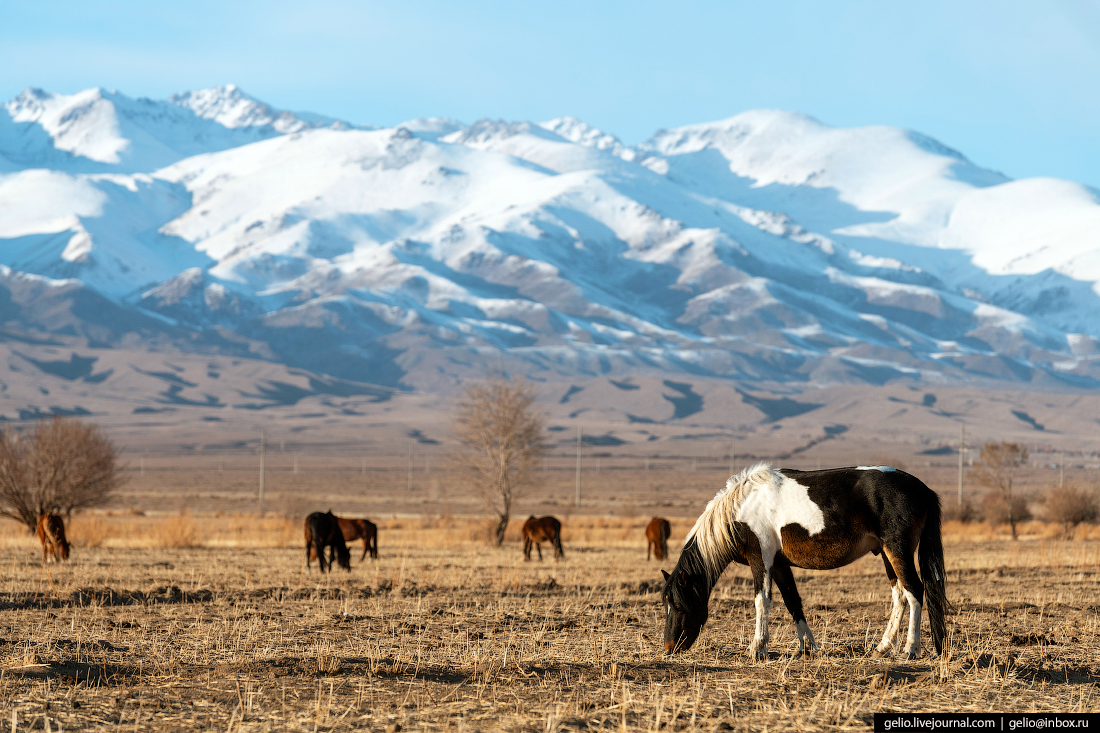 Зимний Кыргызстан Лошади